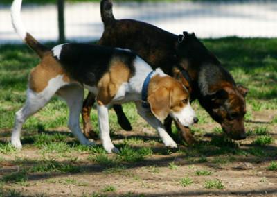 Questi due cani si sono trovati, senza volerlo, troppo vicini. Per alleggerire la tensione e superare questa situazione imbarazzante entrambi si mettono ad annusare per terra