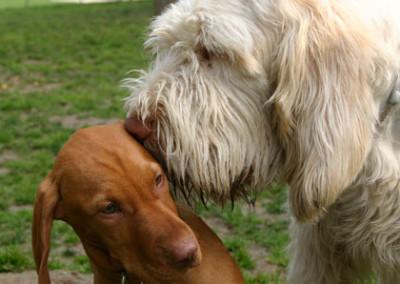 Il cucciolo di bracco ungherese di 5 mesi si siede immobile distogliendo lo sguardo, non appena Gastone gli si avvicina troppo