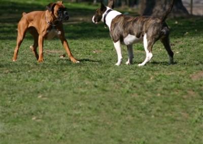 Camilla, la boxer, e Gina, la bull terrier si guardano fisse negli occhi sfidandosi reciprocamente